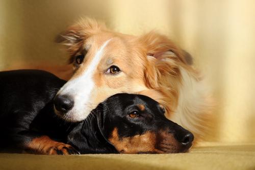 beneficios-de-tener-dos-perros17