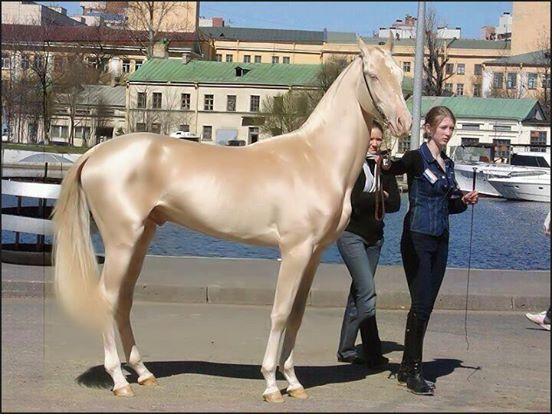 caballos dorados 1