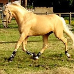 caballos dorados 5