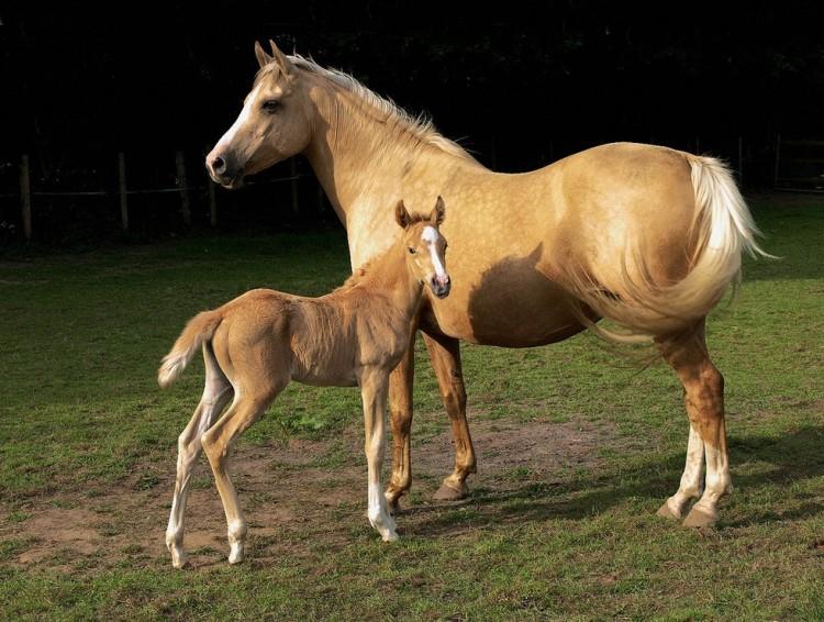 caballos dorados 6