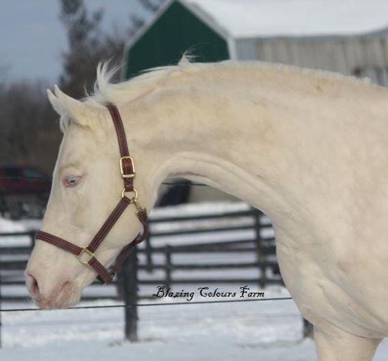 caballos dorados 8