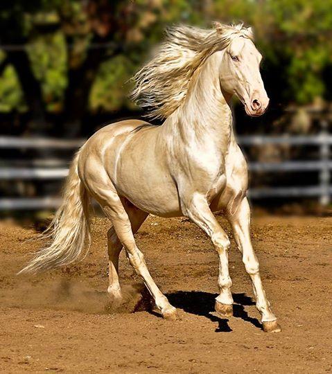 caballos dorados 9