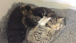 gatitos sorpesa id