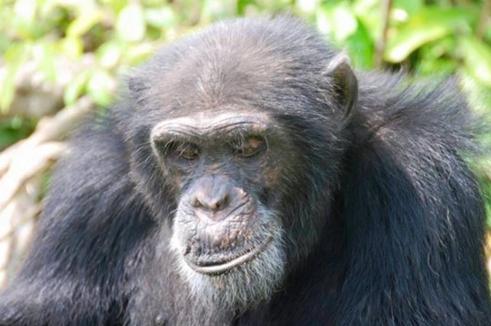 hombre-no-quiere-separarse-de-orangutan2