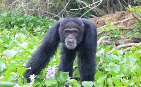 hombre-no-quiere-separarse-de-orangutan3