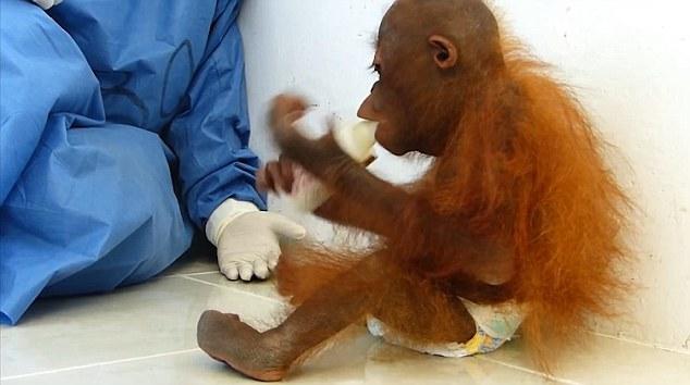 orangutan-bebe-se-abraza-a-si-mismo1