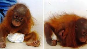 orangutan-bebe-se-abraza-a-si-mismo2 - copia