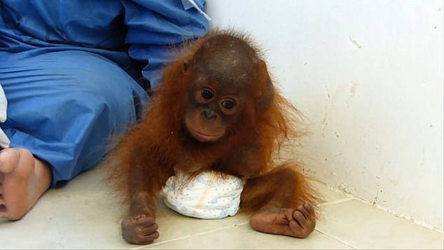 orangutan-bebe-se-abraza-a-si-mismo2