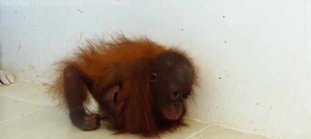 orangutan-bebe-se-abraza-a-si-mismo3