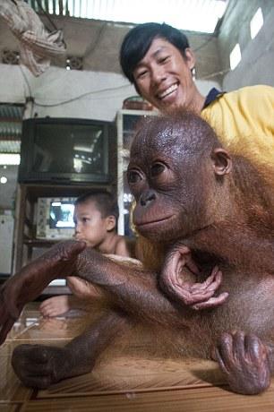 orangutan-bebe-se-abraza-a-si-mismo5