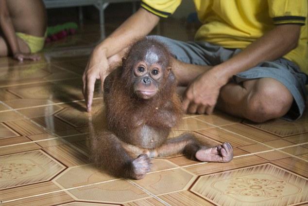 orangutan-bebe-se-abraza-a-si-mismo6