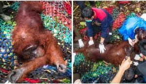 orangutan rescatado 2