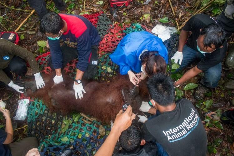 orangutan rescatado 4