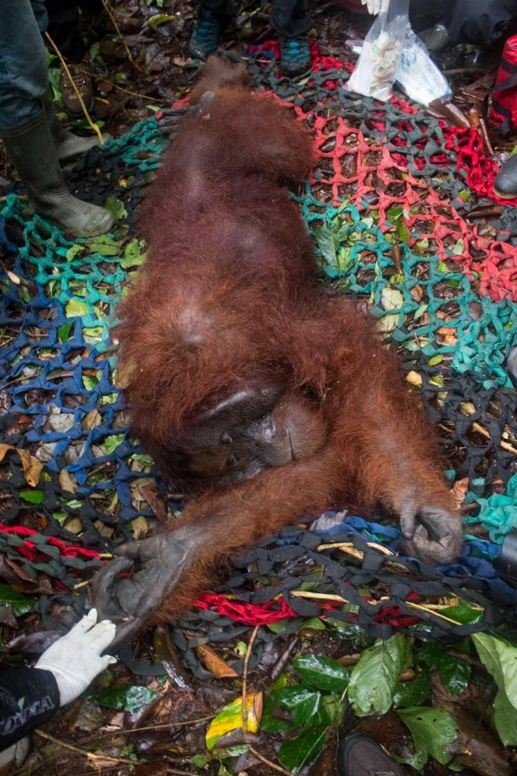 orangutan rescatado 5