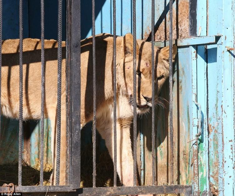 pareja-cuida-a-animales-de-zoo-abandonado9