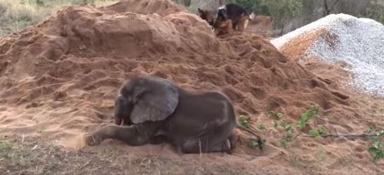 perro-ayuda-a-elefante-bebe9