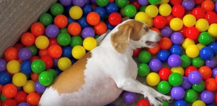 perro-piscina-de-pelotas4