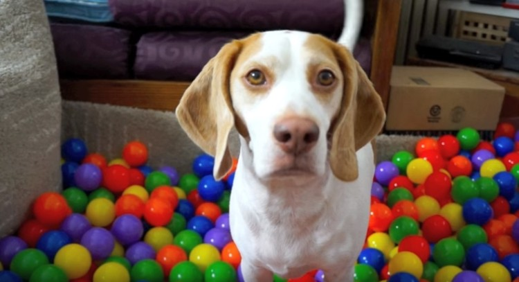 perro-piscina-de-pelotas5