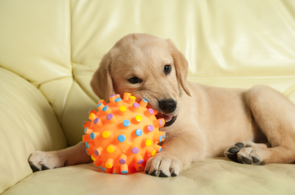 Golden retriever puppy lying on the sofa with his ball