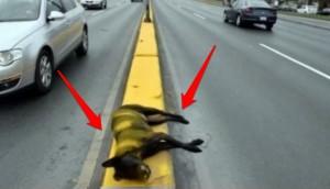 pintan-sobre-perro-fallecido-autopista1 - copia