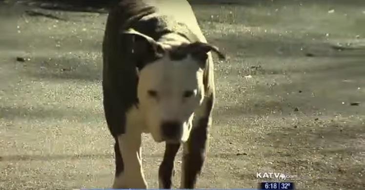 pitbull salva señora mayor 6