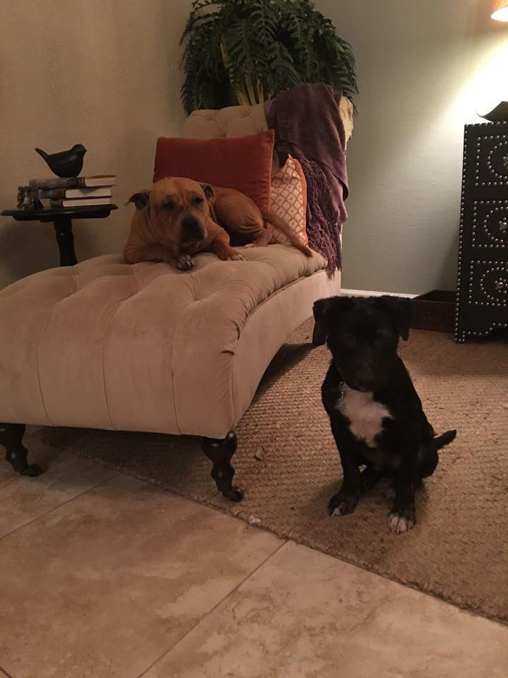 pitbull-sofa