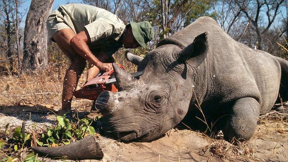 record-caza-furtiva-de-rinocerontes3