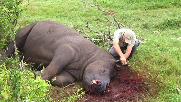 record-caza-furtiva-de-rinocerontes5