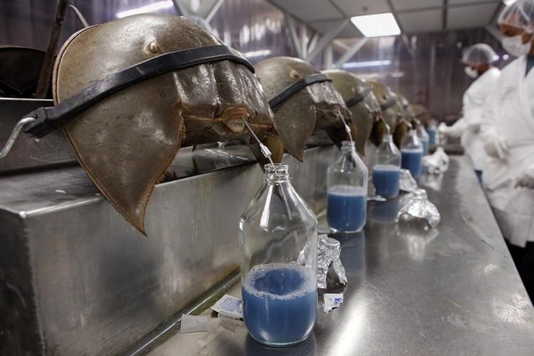 sangre-de-cangrejo-para-probar-vacunas1
