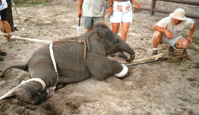 Elefante no montar 16-1