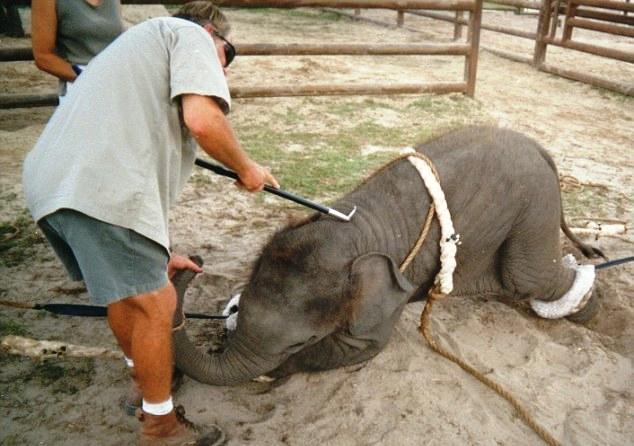 Elefante no montar 17-1