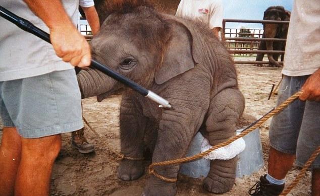 Elefante no montar 18-1