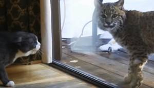 Gato y tigre 1