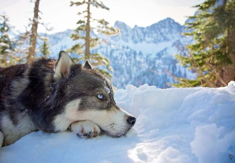 Husky rescatado 18