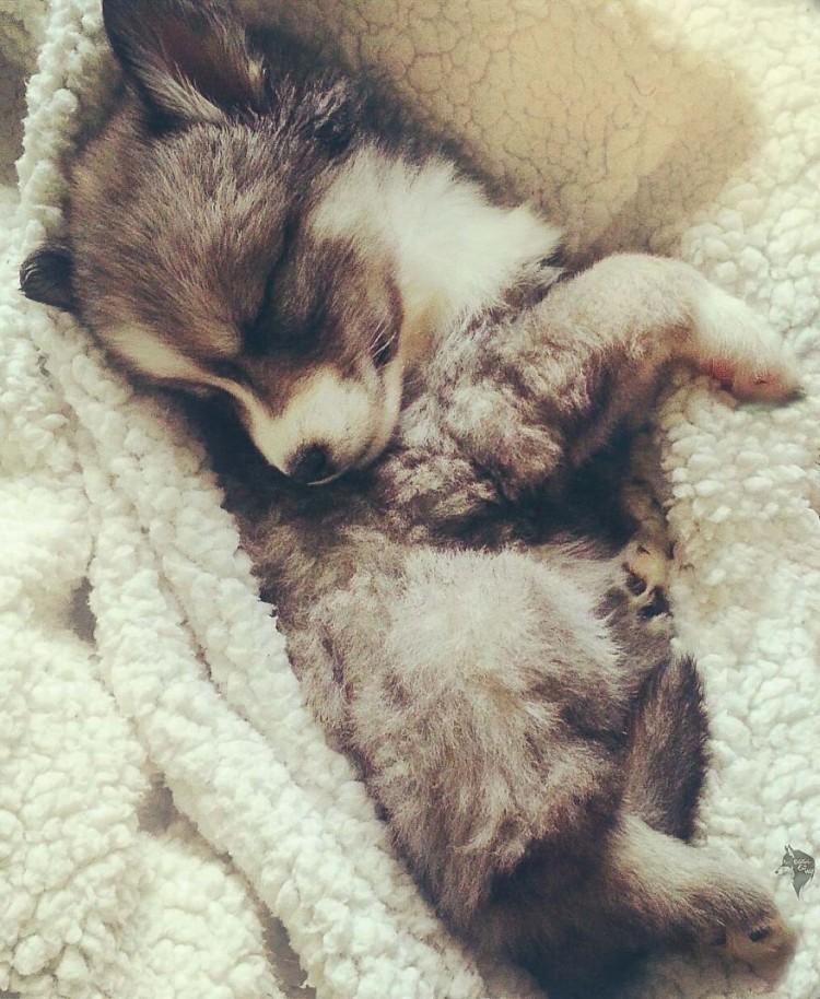 Husky rescatado 2