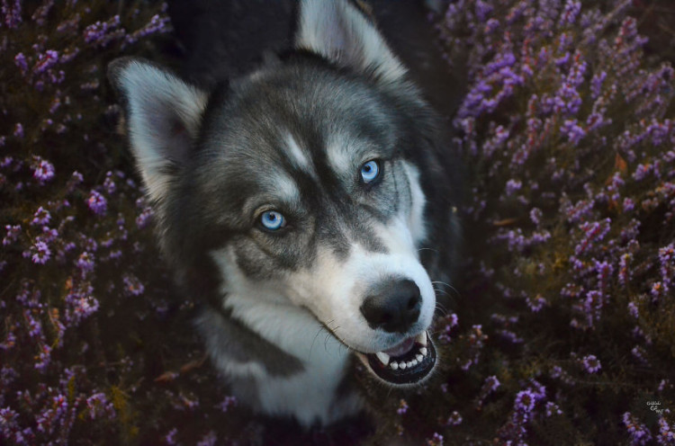 Husky rescatado 24