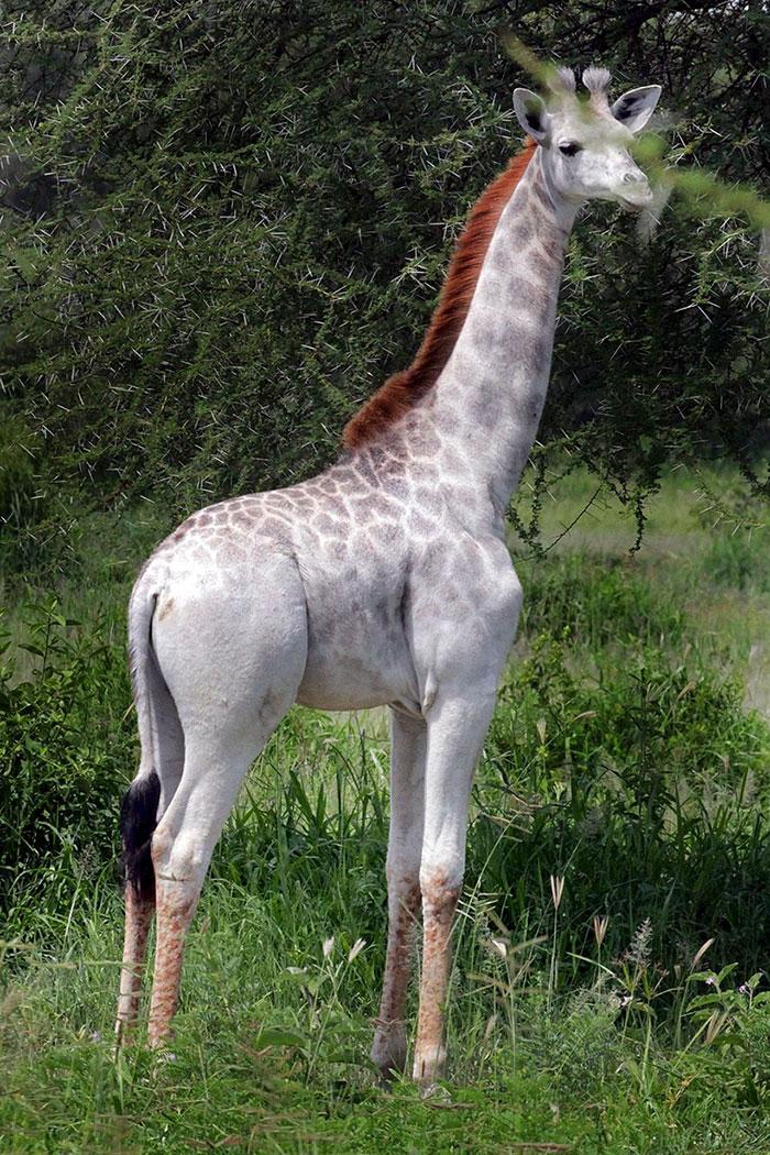 Jirafa albina 1