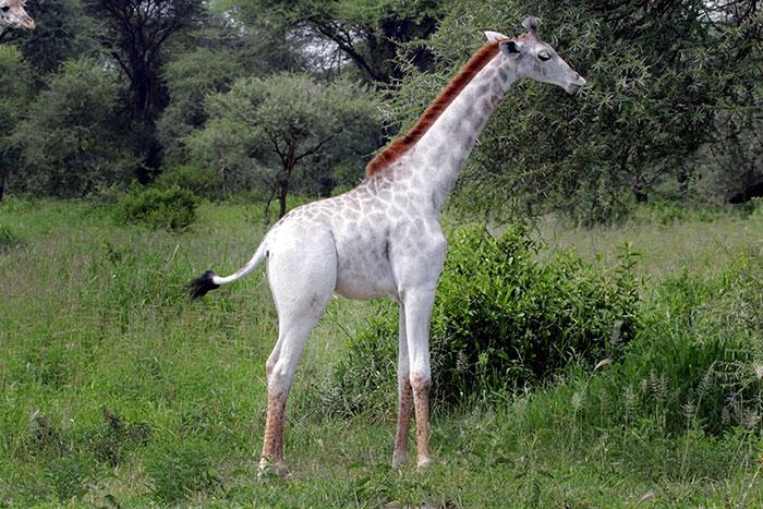 Jirafa albina 4