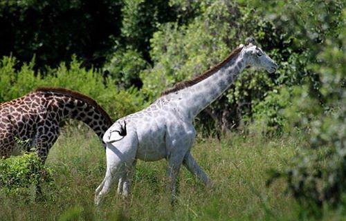 Jirafa albina 6