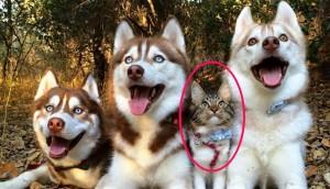Perro-Husky-adoptan-gata4