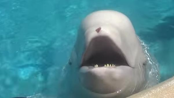 ballena beluga 1