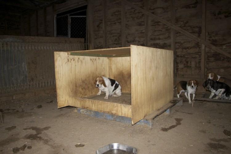 beagle esconde bebes 1