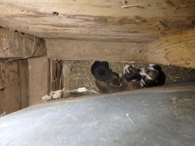 beagle esconde bebes 2