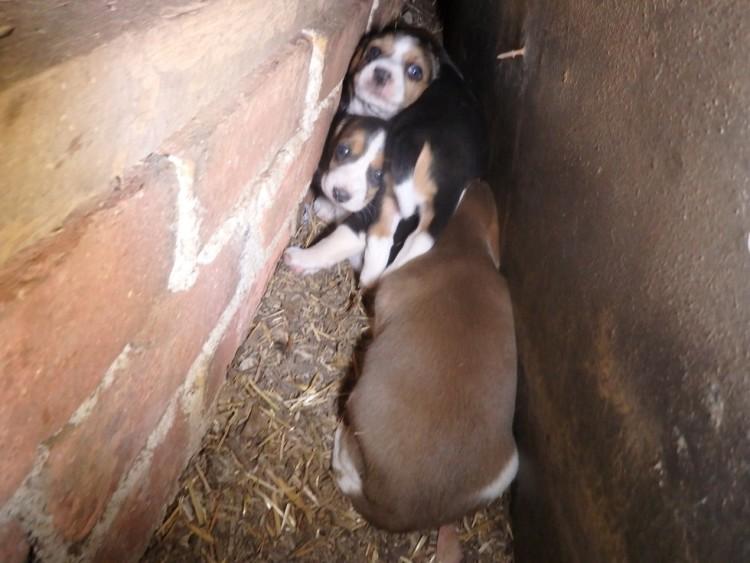beagle esconde bebes 3