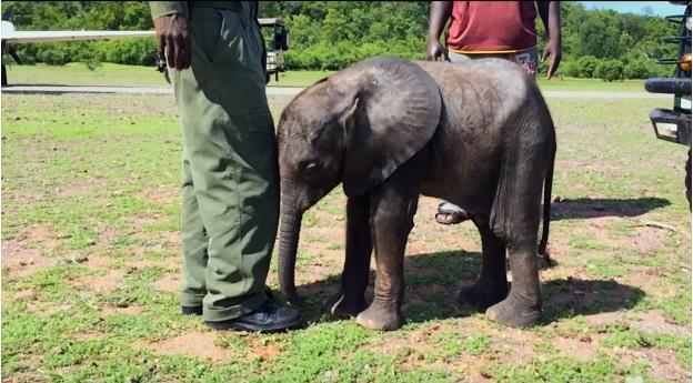 bebe elefante sigue rescatista 10