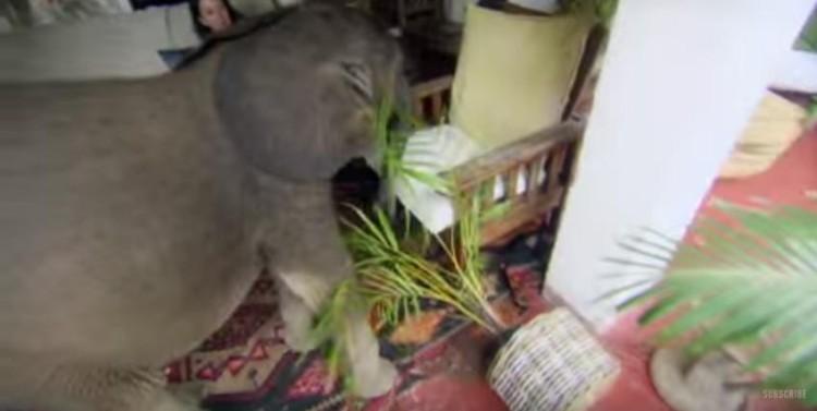 bebe elefante sigue rescatista 4