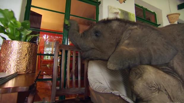 bebe elefante sigue rescatista 9
