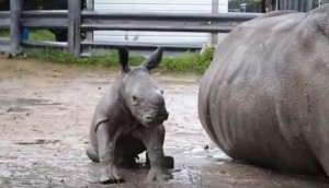 bebe-rinoceronte3