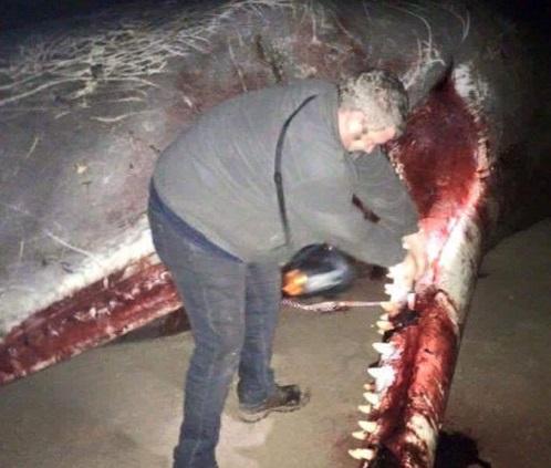 cachalotes muertos 2