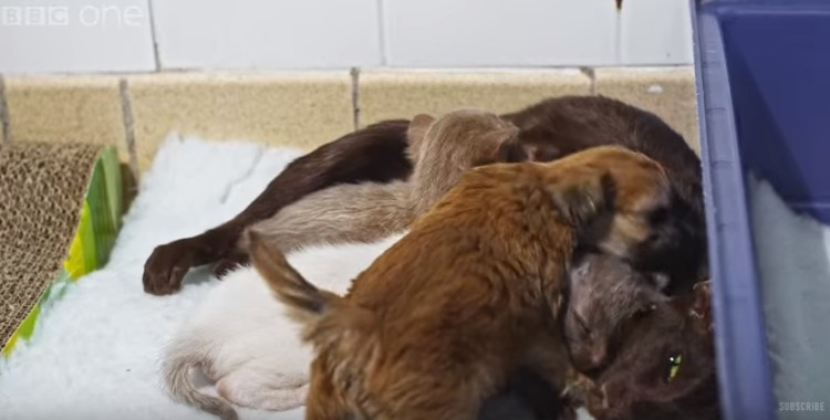 cachorro-adoptado-por-gato13